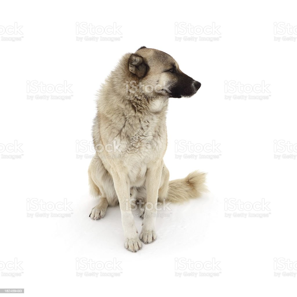 Anatolian Shepherd Dog stock photo