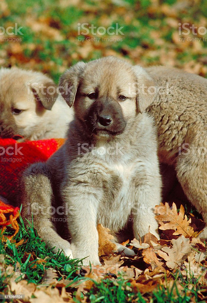 Anatolian shepherd puppies dogs on the grass stock photo