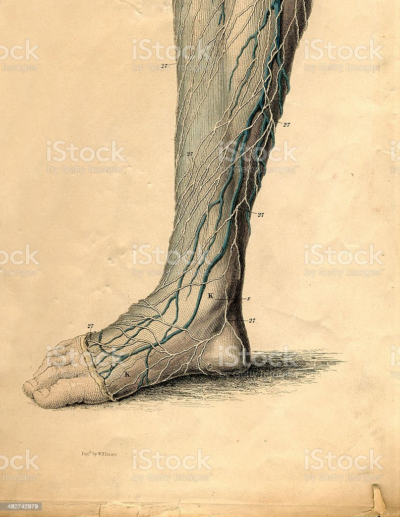 Anatomical drawing of a foot and leg stock photo