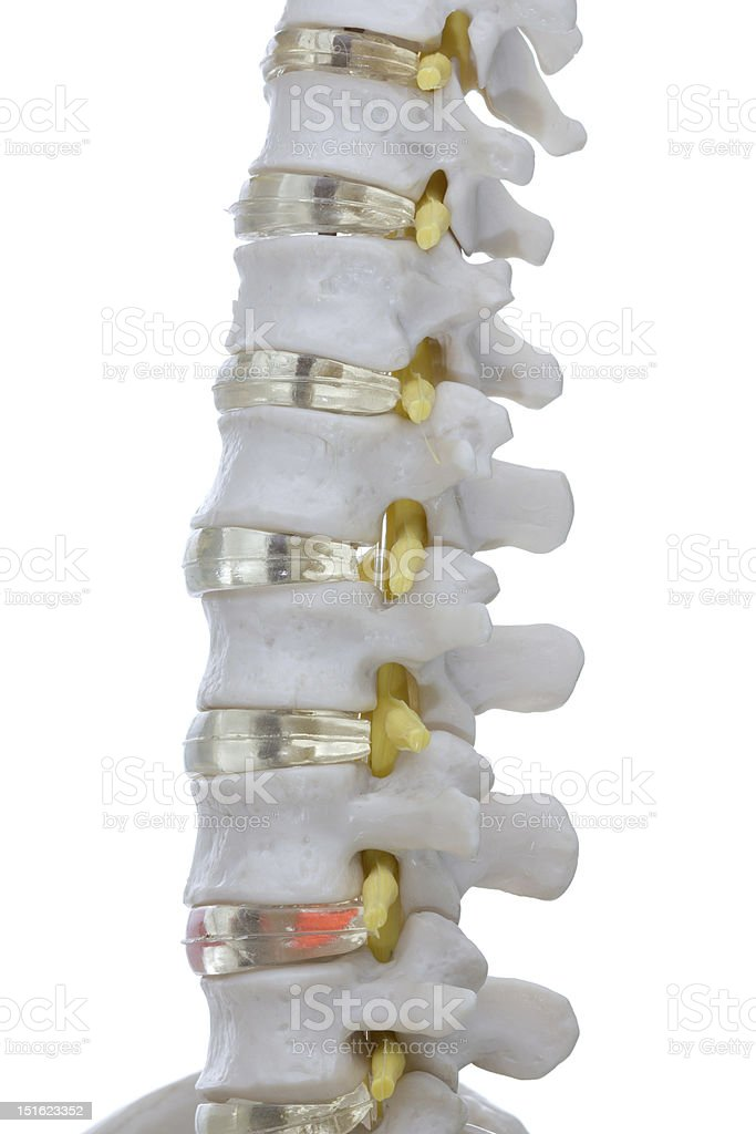 Anatomical model of human spine on white background. stock photo