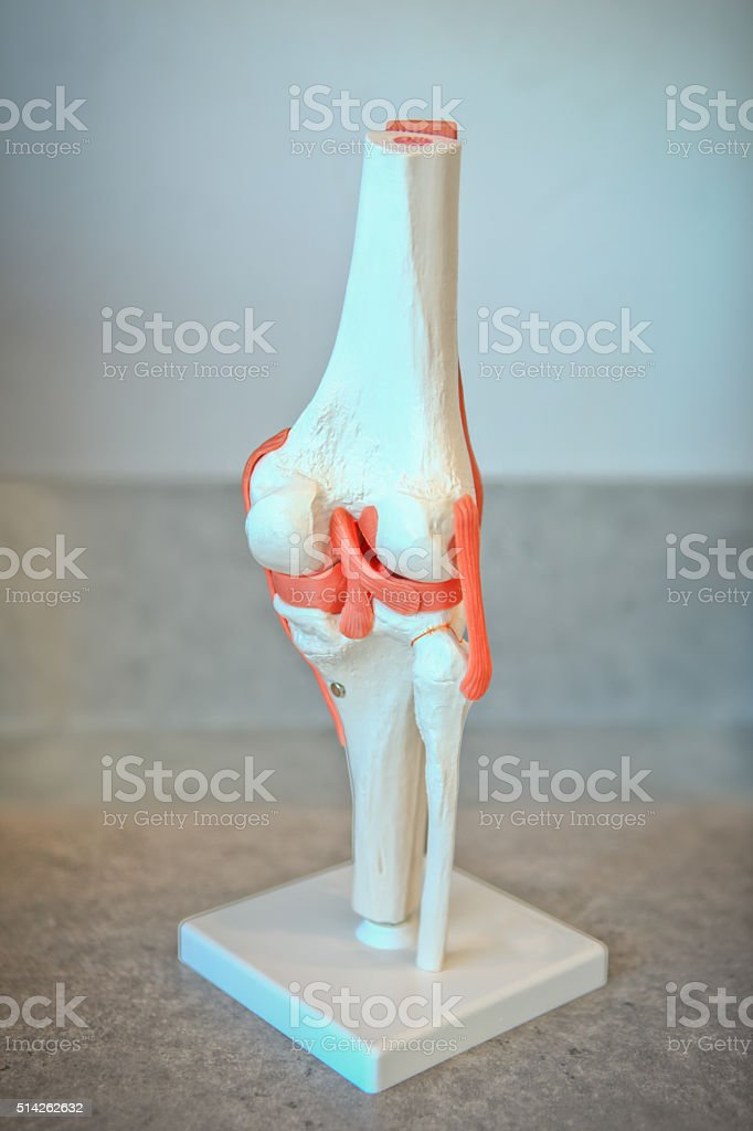 Anatomical Model of Right Knee Joint stock photo