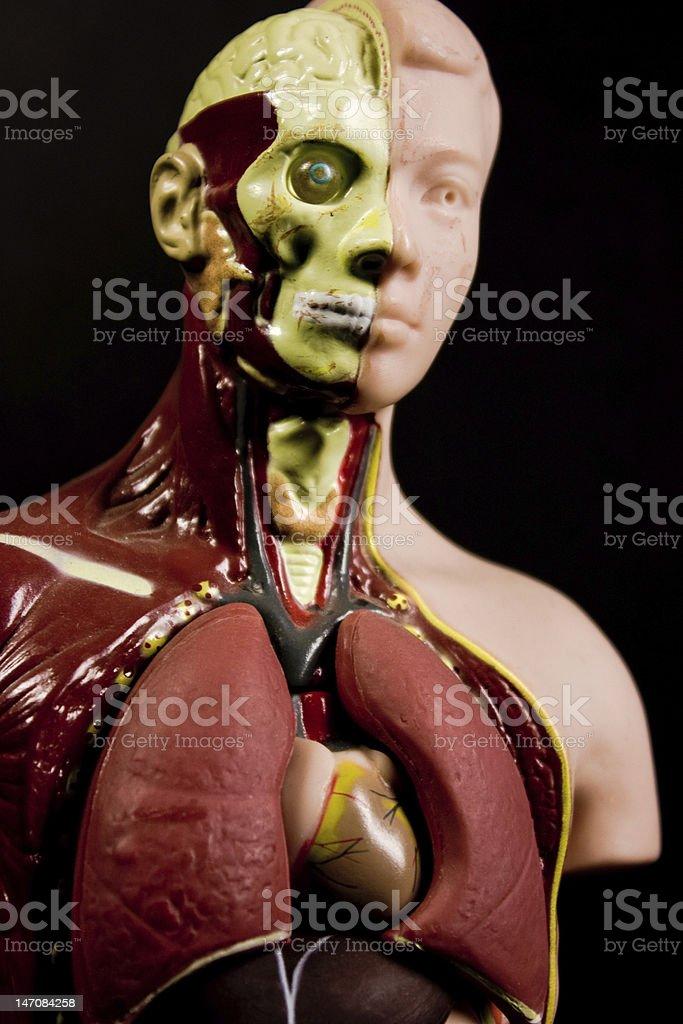 Anatomical Model royalty-free stock photo