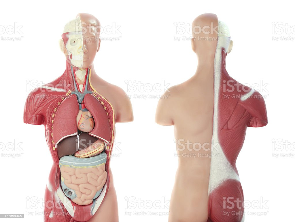 Anatomical Model stock photo