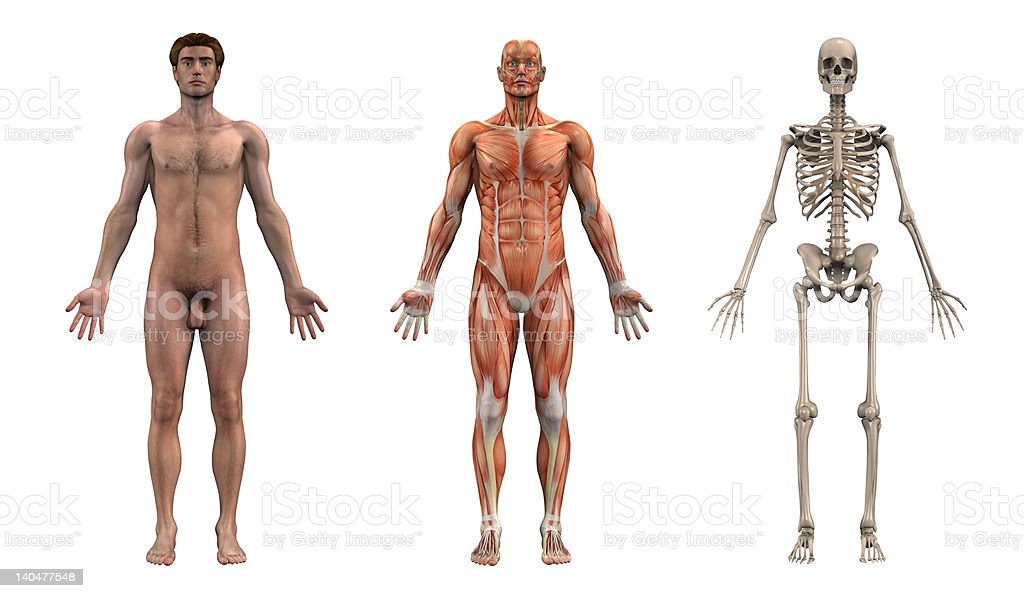 Anatomical Overlays - Adult Male _ Front View stock photo