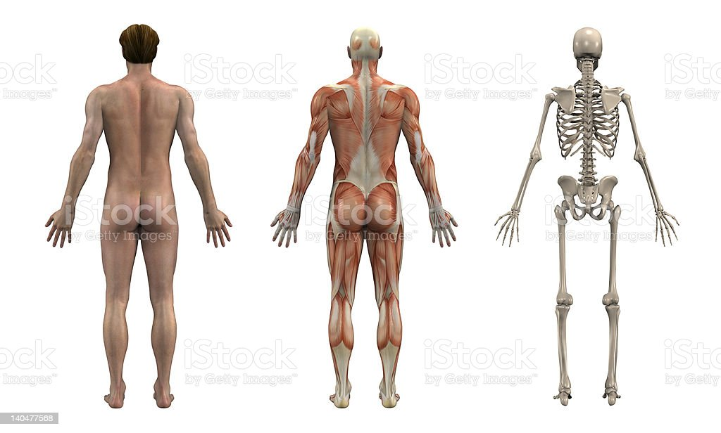 Anatomical Overlays - Adult Male_Back View stock photo