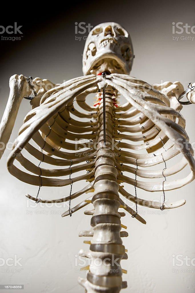 Anatomical Skeleton royalty-free stock photo