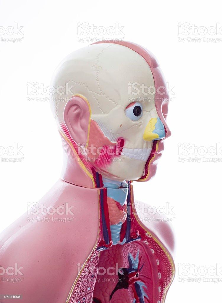 Anatomical Unisex Model Manequine royalty-free stock photo