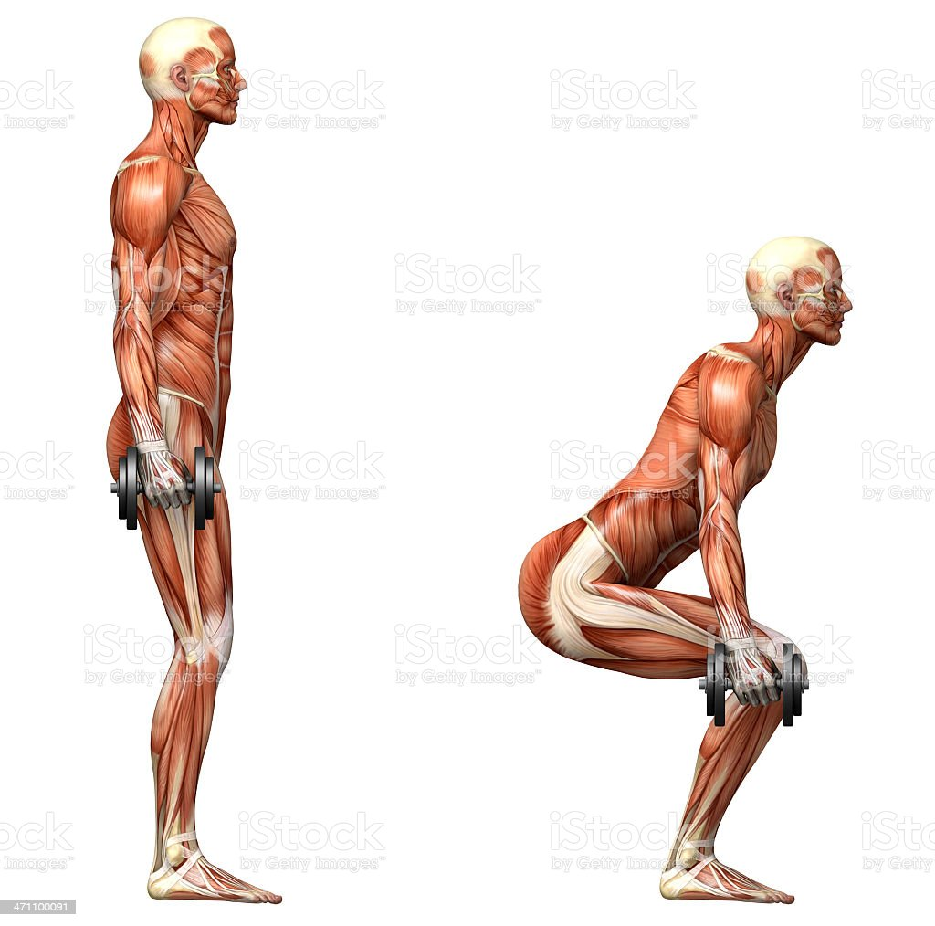 Anatomical view of a body making dumbbell squats royalty-free stock photo
