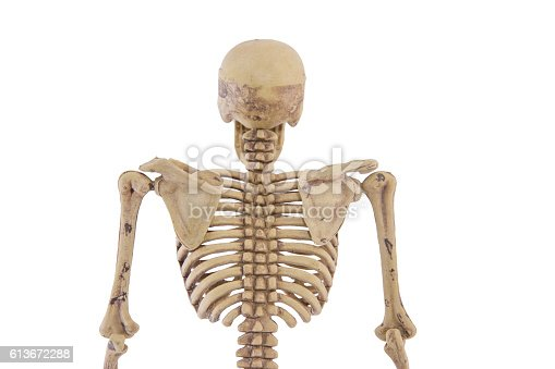anatomy back upper body human skeleton isolated stock photo, Skeleton