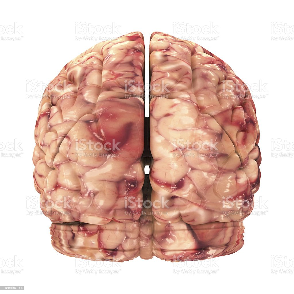 Anatomy Brain - Back View Isolated on White royalty-free stock photo