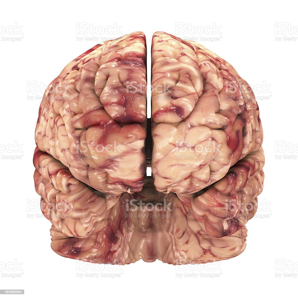 Anatomy Brain - Front View Isolated on White stock photo