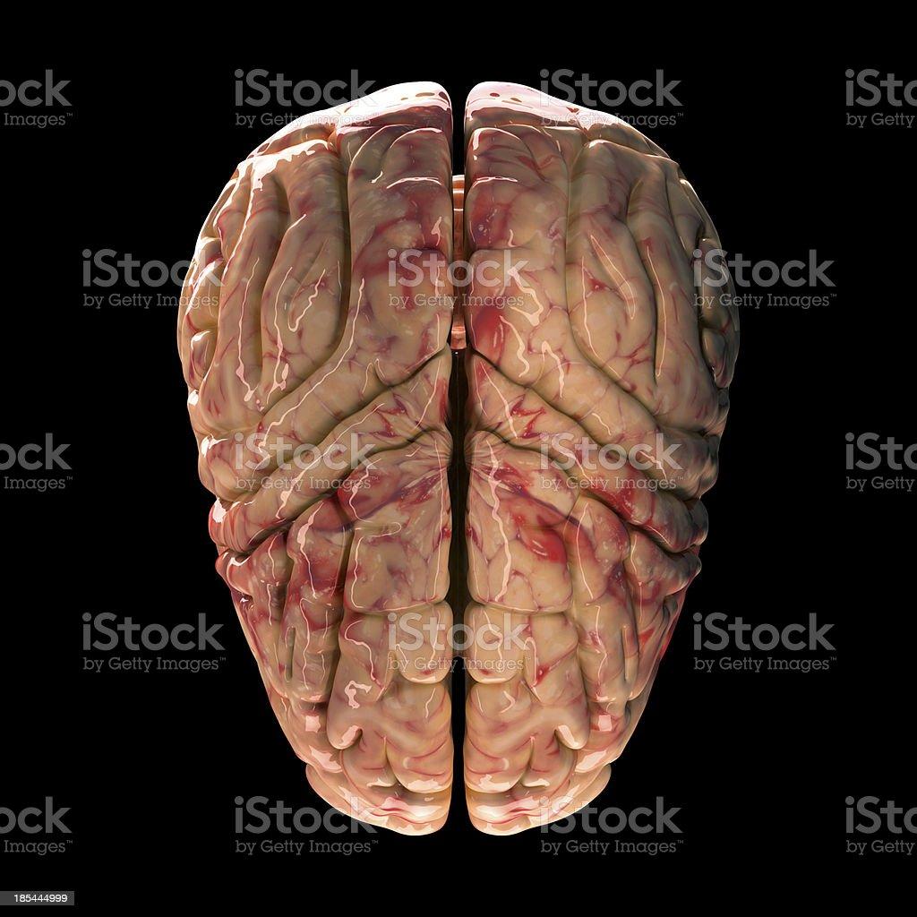 Anatomy Brain - Top View on Black Background royalty-free stock photo