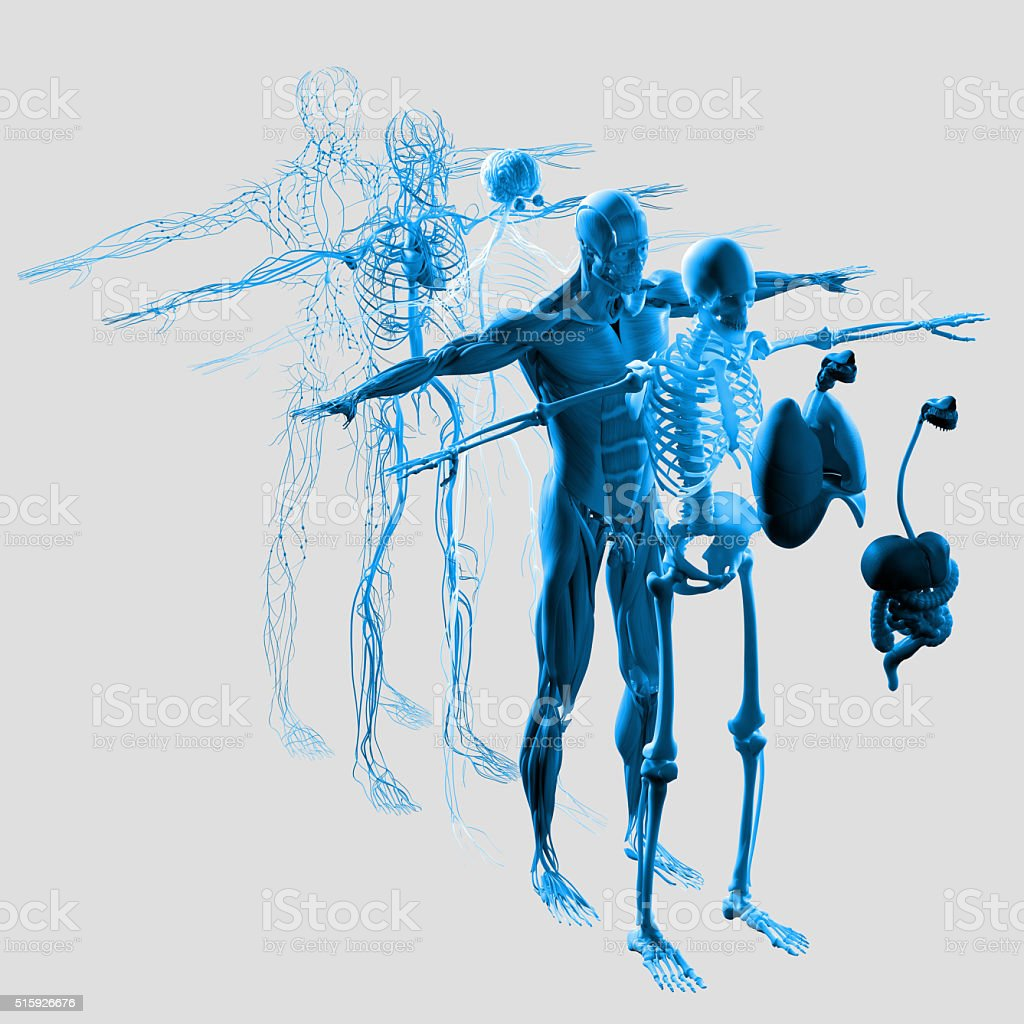 Anatomy exploded view.Separate elements muscle,bone,organs,nervous,lymphatic,vascular. stock photo