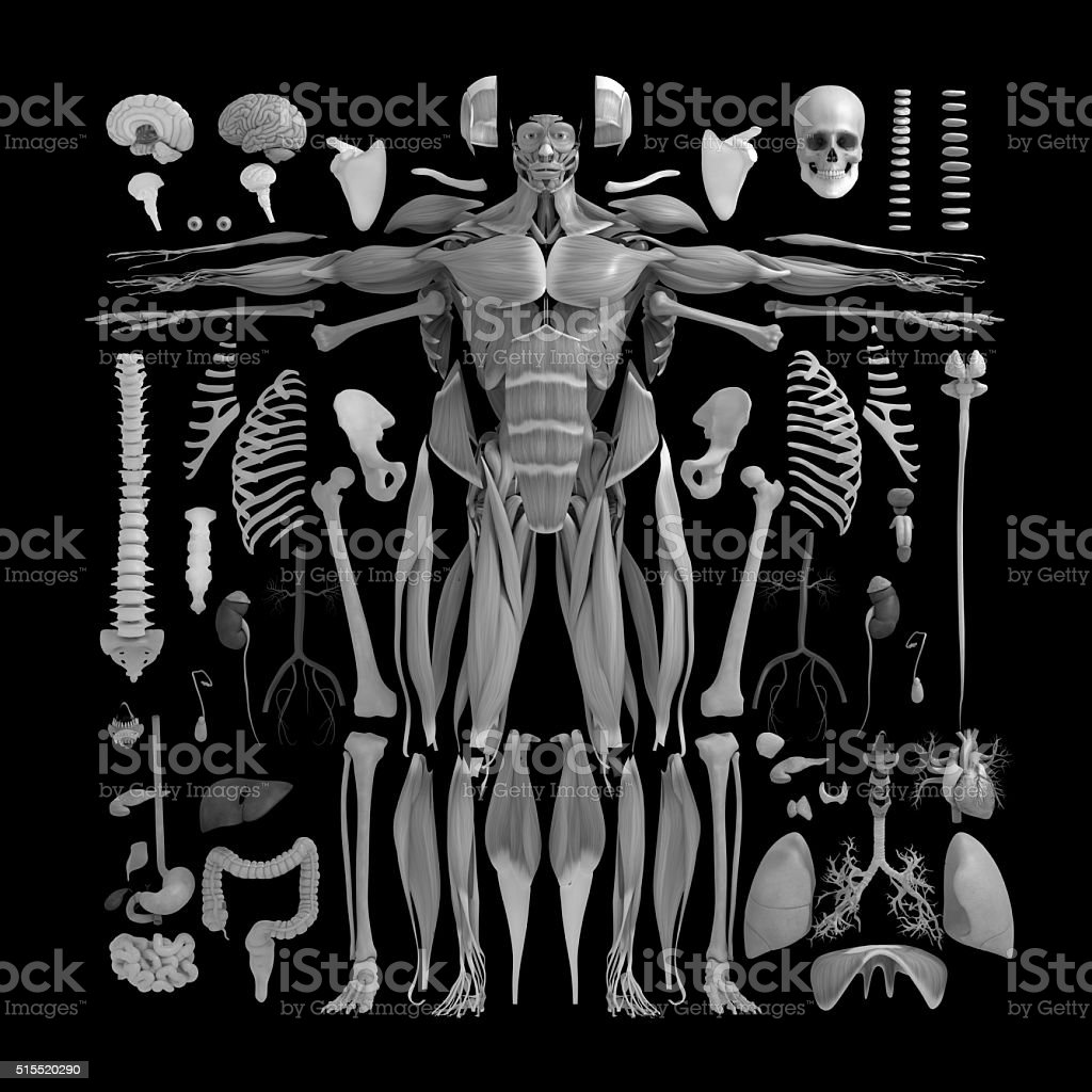 Anatomy flat lay illustration,body parts.Knolling. stock photo