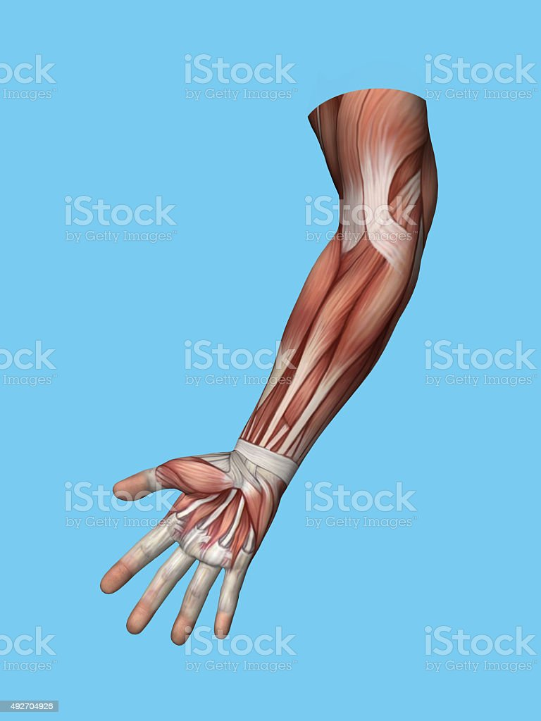 Anatomy front view of hand and arm muscles. stock photo