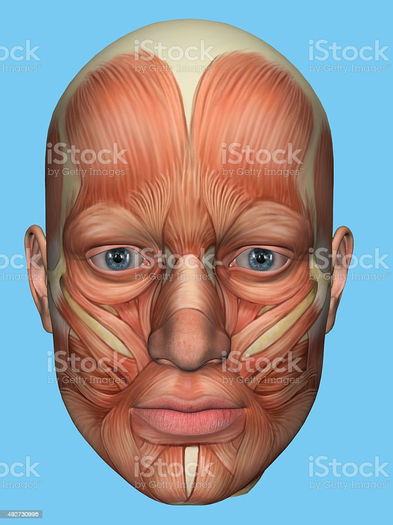 Anatomy front view of major face muscles of a male. stock photo