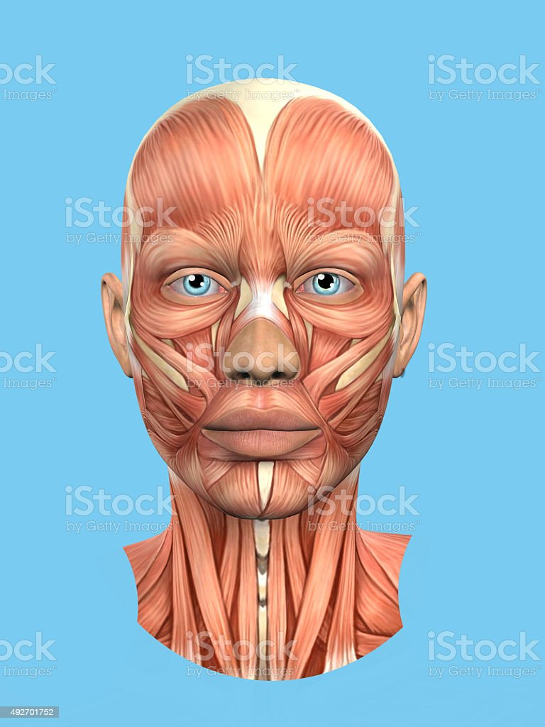 Anatomy front view of major face muscles of a woman. stock photo