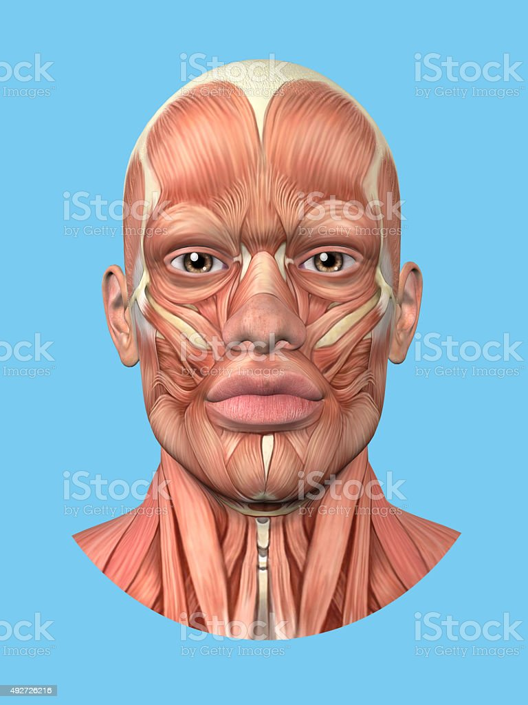 Anatomy front view of major face muscles. stock photo