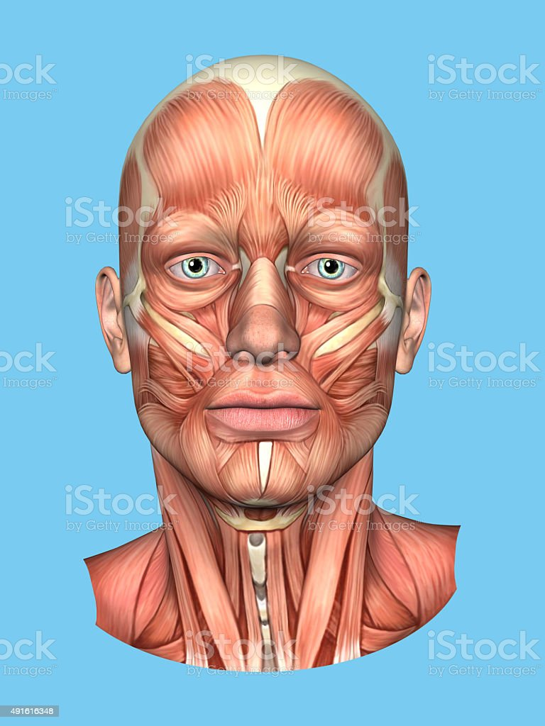 Anatomy Front View of the Major Face Muscles -Male stock photo
