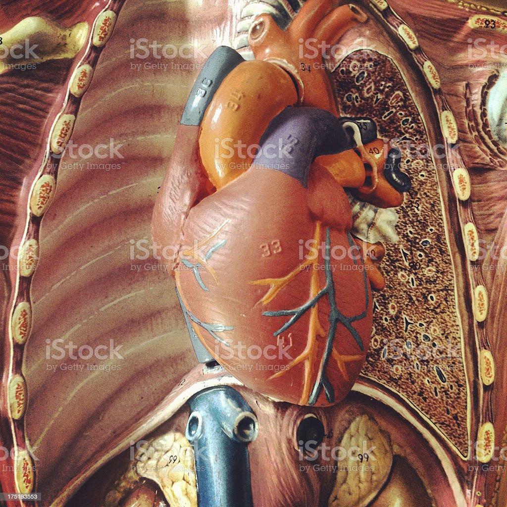 Anatomy Heart royalty-free stock photo