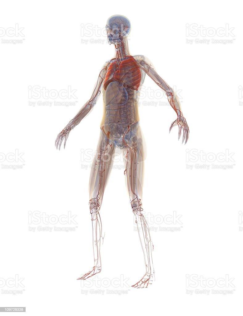 Anatomy - Human Woman royalty-free stock photo