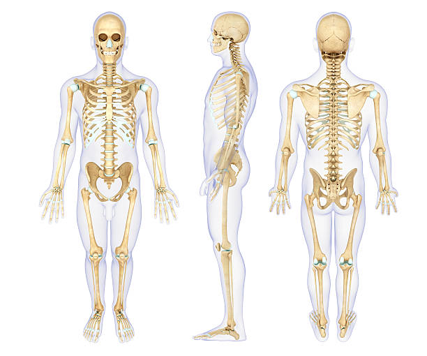 human skeleton pictures, images and stock photos - istock, Cephalic Vein