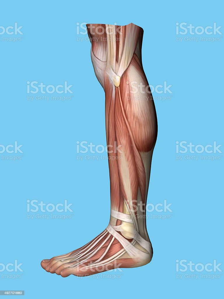 Anatomy lateral side view of leg and foot. stock photo