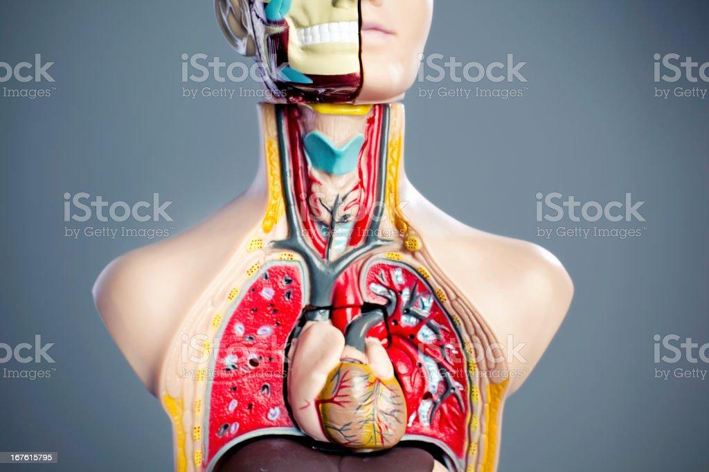 Anatomy Model stock photo