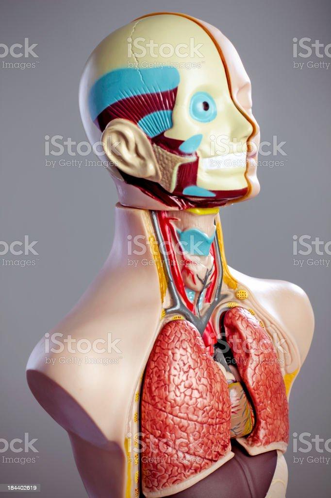 Anatomy Model royalty-free stock photo