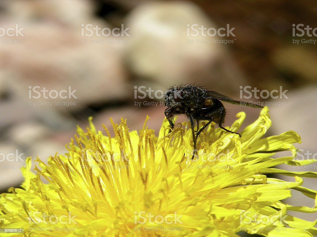 Anatomy of a Fly royalty-free stock photo