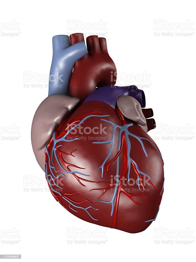 Anatomy of a human heart for medical study stock photo