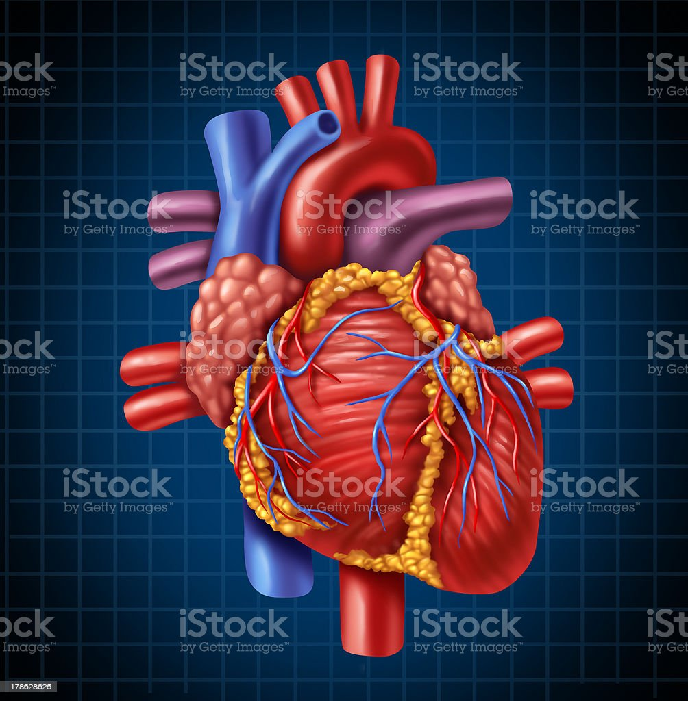 Anatomy of a human heart on a blue background stock photo