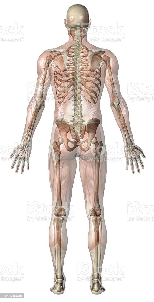 Anatomy of a transparent man standing in dorsal position stock photo