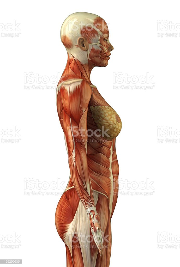 Anatomy of female muscular system stock photo