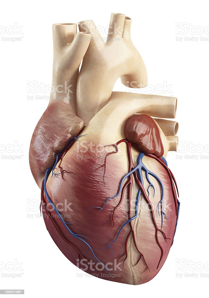 Anatomy of heart interior structure stock photo