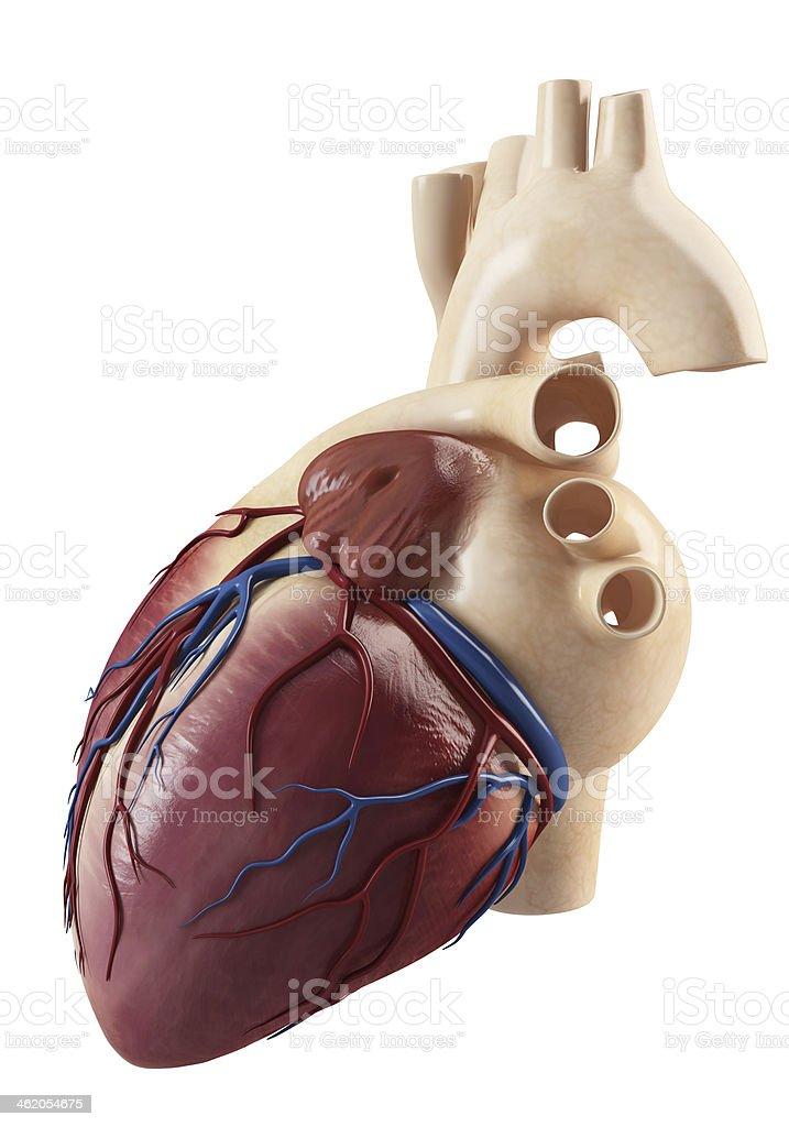 Anatomy of heart stock photo
