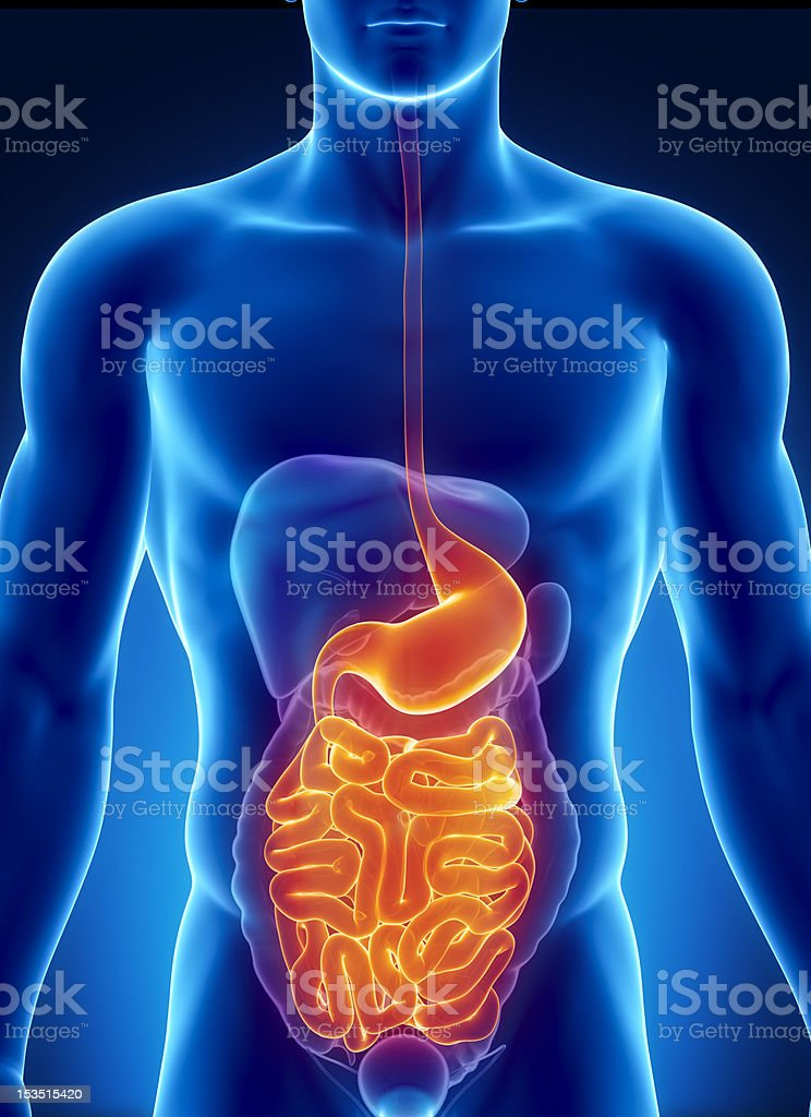 ANatomy of human digestive system stock photo