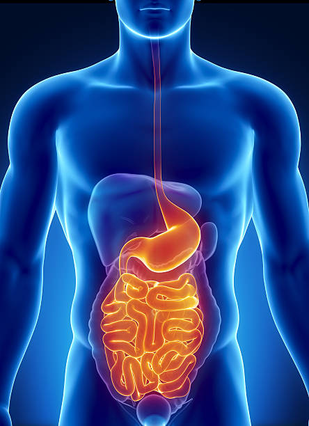 human digestive system pictures, images and stock photos - istock, Human Body