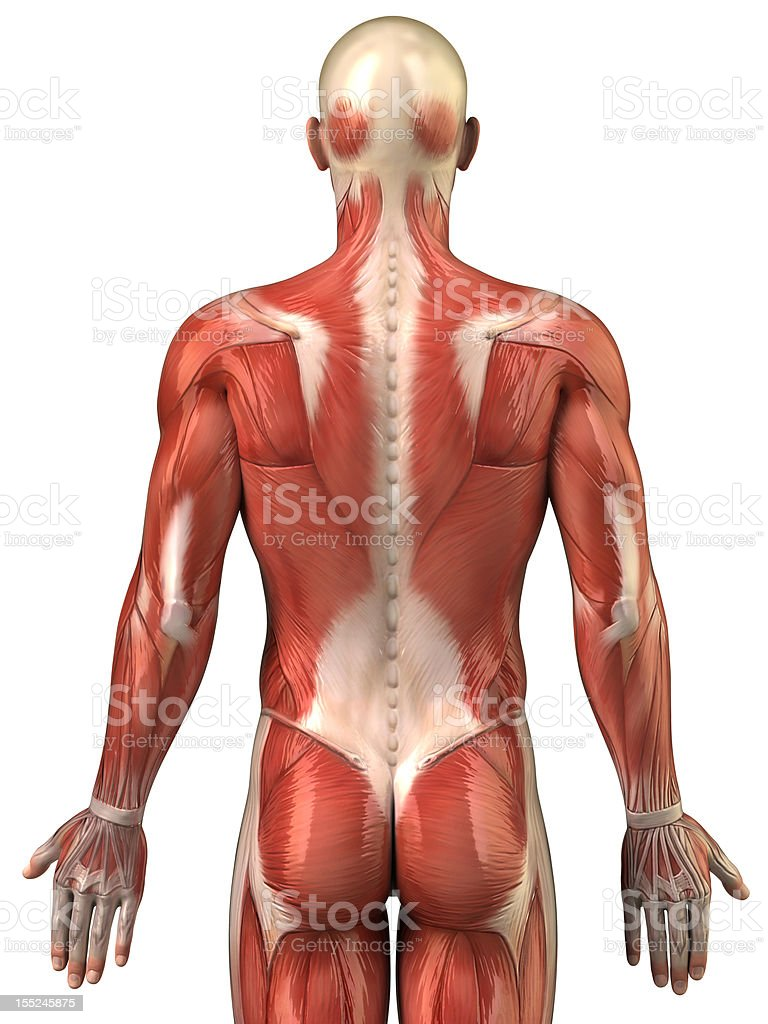 Anatomy of human muscular system posterior view stock photo