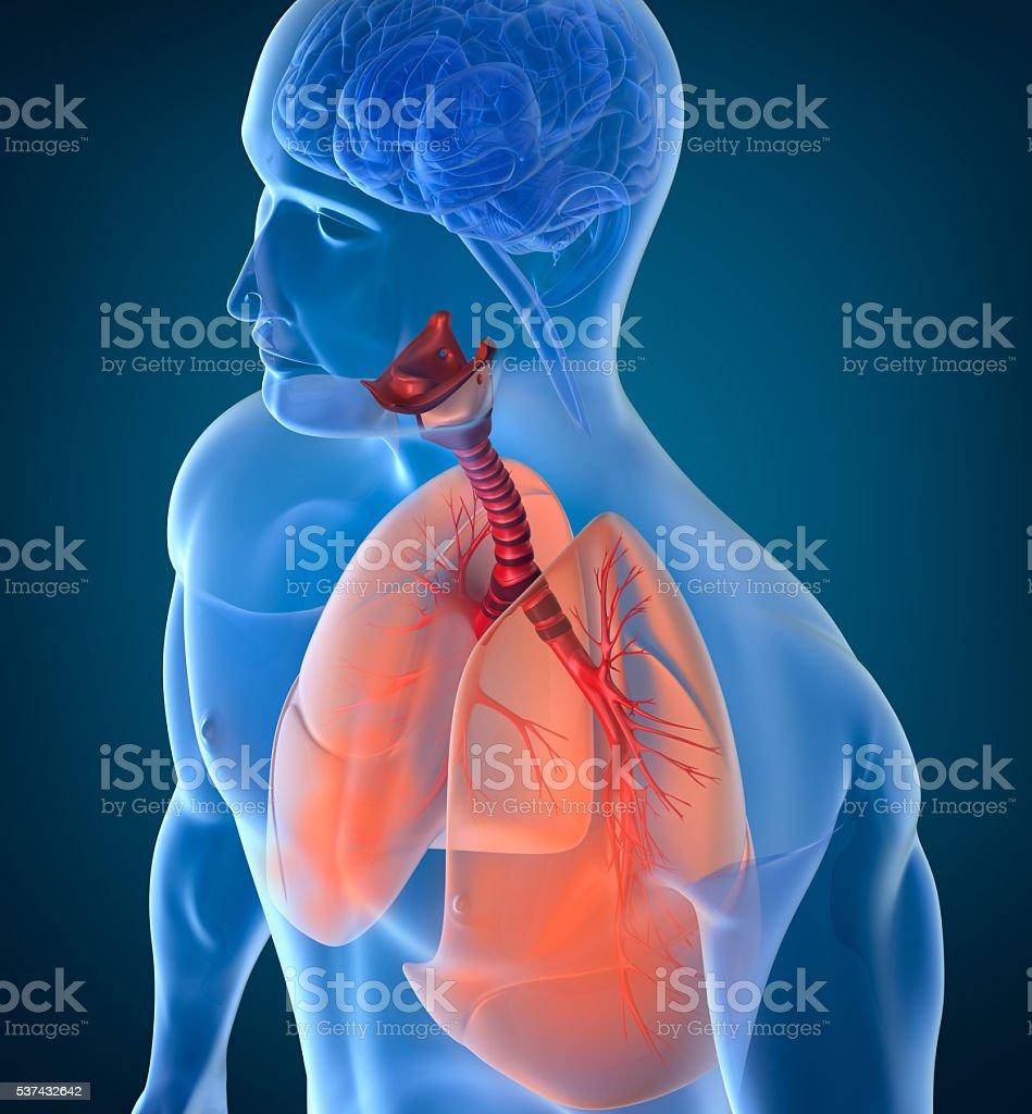 Anatomy of human respiratory system stock photo