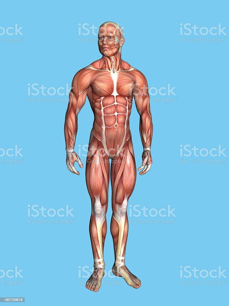 Anatomy of male figure, stock photo