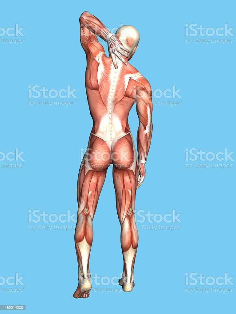 Anatomy of Male With Upper Back stock photo