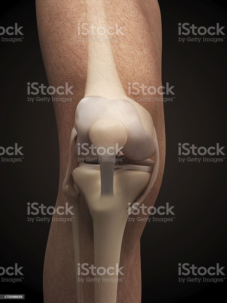 anatomy of the knee stock photo