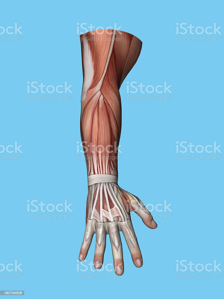 Anatomy posterior view of hand and arm. stock photo