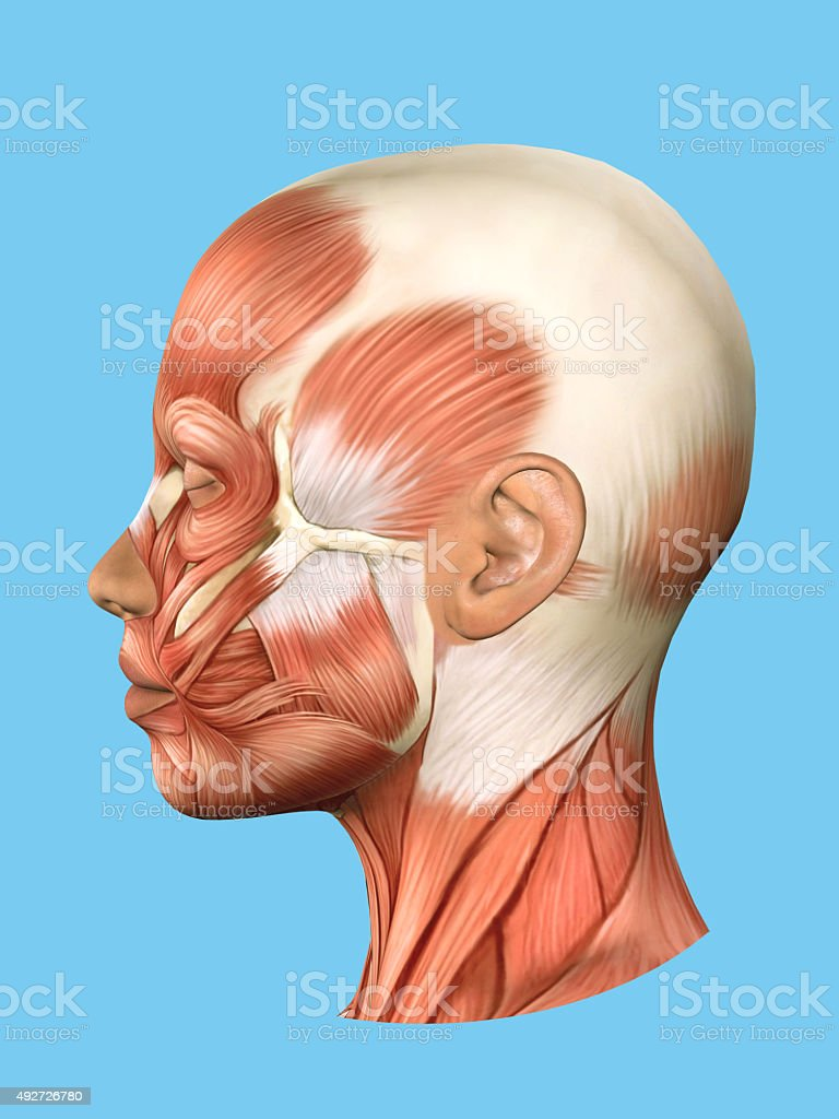 Anatomy side view of major face muscles. stock photo