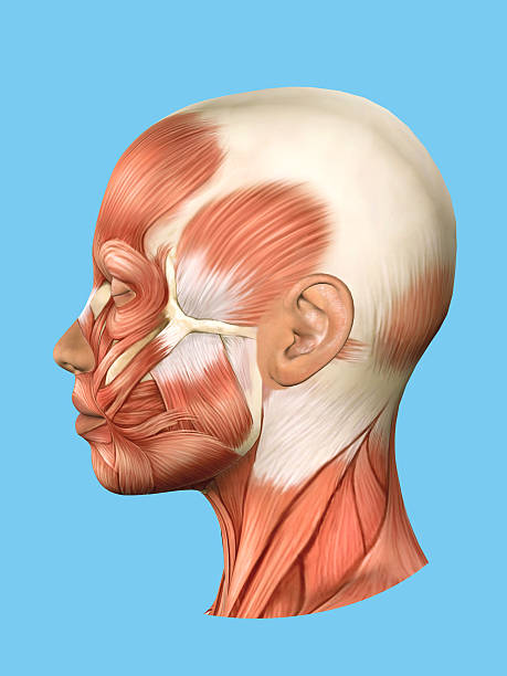 Facial Muscles Anatomy Pictures, Images and Stock Photos - iStock