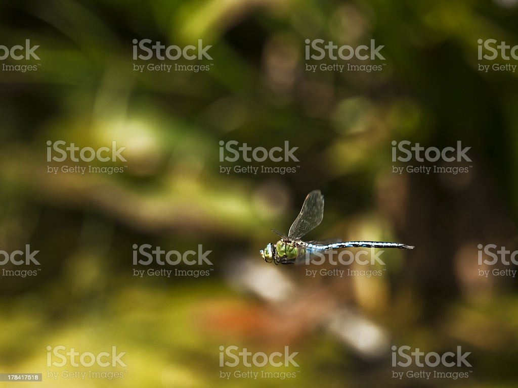 Anax Imperator royalty-free stock photo