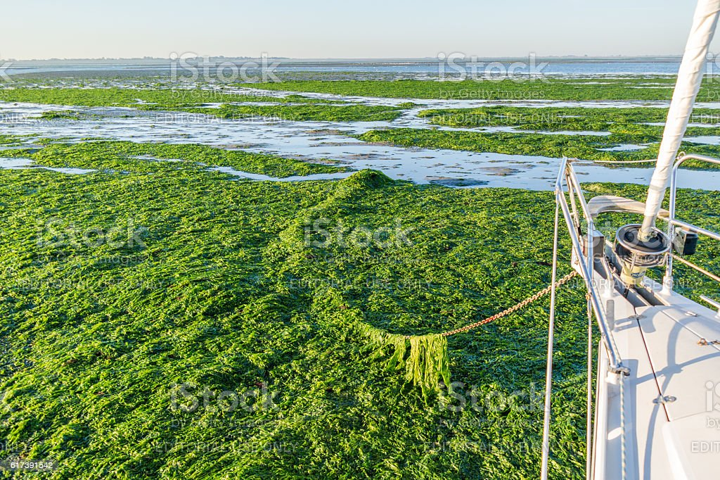 Anchoring in seaweed field, Waddensea, Netherlands stock photo