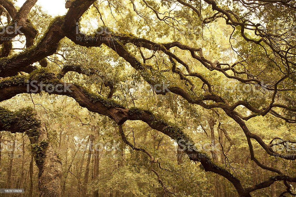 Ancient Angel Oak near Charleston stock photo