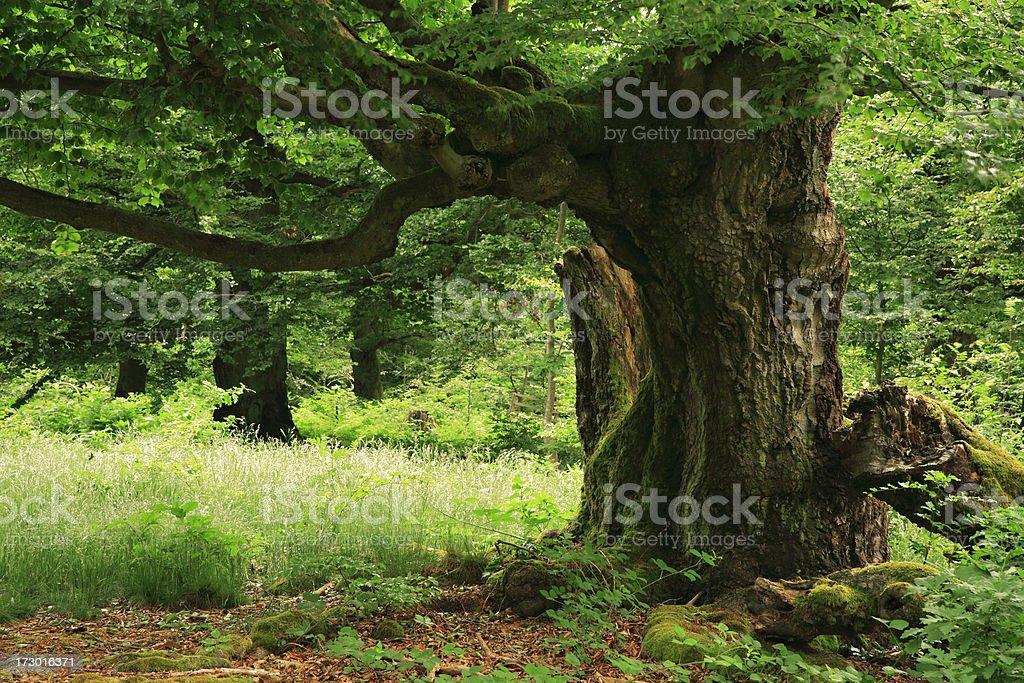 Ancient Beech Tree stock photo
